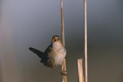 Marsh Wren Singing-DLILLC-Photographic Print