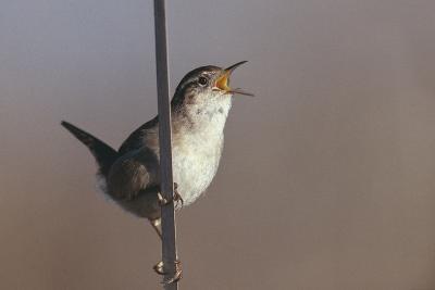 Marsh Wren Singing-DLILLC-Photographic Print
