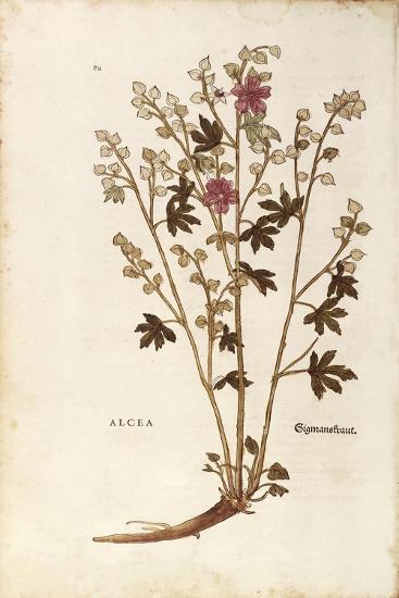 Marshmallow - Althaea by Leonhart Fuchs from De Historia Stirpium Commentarii Insignes (Notable Com--Giclee Print