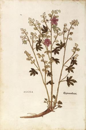 https://imgc.artprintimages.com/img/print/marshmallow-althaea-by-leonhart-fuchs-from-de-historia-stirpium-commentarii-insignes-notable-com_u-l-puysdx0.jpg?p=0