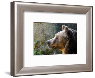 Marsican Brown Bear Profile--Framed Art Print