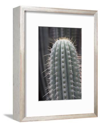 Cactus, Azureocereus Hertlingianus Backeb, Jardin Botanico (Botanical Gardens)