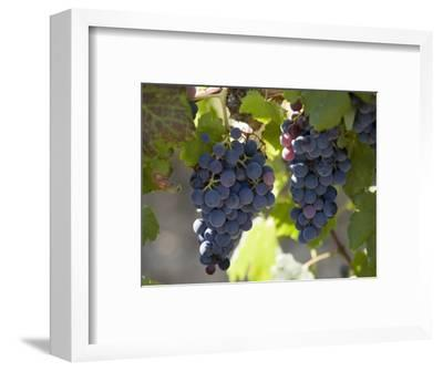 Grape Vines, Languedoc, France, Europe