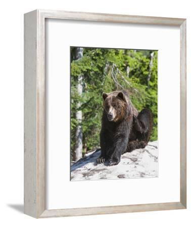 Grizzly Bear Scratching on Ice at the Top of Grouse Mountain, Vancouver, British Columbia, Canada,