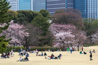 People Relaxing and Picnicking Amongst Beautiful Cherry Blossom, Tokyo Imperial Palace East Gardens
