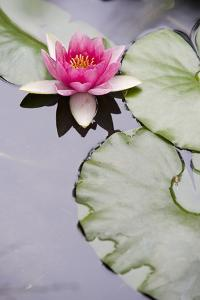 Pink Water Lily in Pond by Martin Child