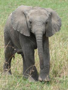 Elephant Calf Approach Full Bleed by Martin Fowkes