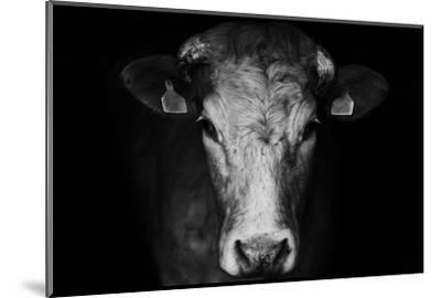 Farm Cow Portrait on Black Background by Martin Gallie