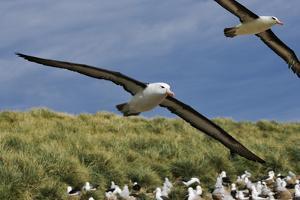 Albatross Flying over Colony by Martin Harvey