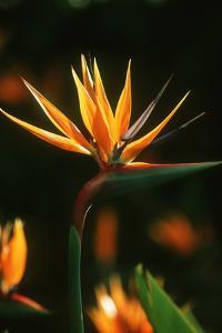Bird of Paradise Flower by Martin Harvey
