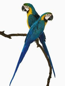 Blue-and-Gold Macaws by Martin Harvey