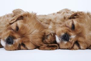Cavalier King Charles Spaniel Puppies Lying Down by Martin Harvey