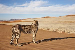 Cheetah in Desert Environment. by Martin Harvey