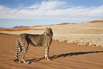 Cheetah in Desert Environment.