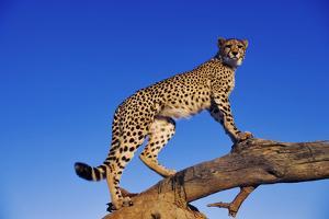 Cheetah by Martin Harvey