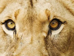 Close-Up of a Lioness by Martin Harvey