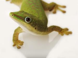 Day Gecko by Martin Harvey