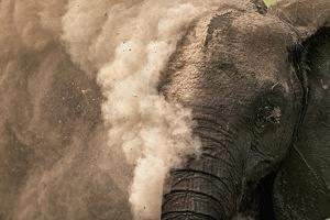 Elephant Dust Bathing by Martin Harvey
