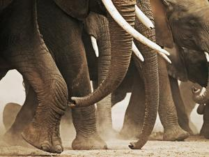 Elephant Herd on the Move by Martin Harvey