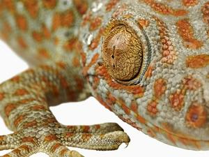 Eye of a Tokay Gecko by Martin Harvey
