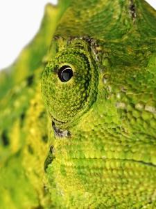 Eyes of a Meller's Chameleon by Martin Harvey