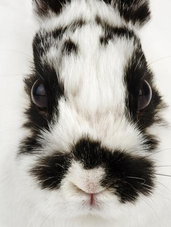 Face of Jersey Wooly Rabbit
