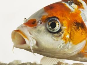 Face of koi fish by Martin Harvey