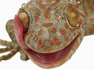Gecko Licking Eye by Martin Harvey