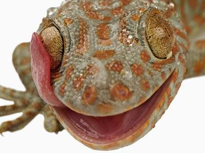Gecko Licking Eye