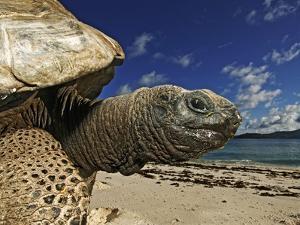 Giant Tortoise on the Beach by Martin Harvey