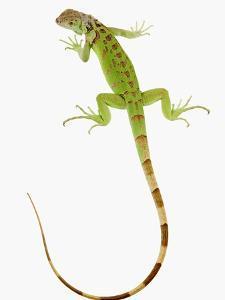 Green Iguana by Martin Harvey