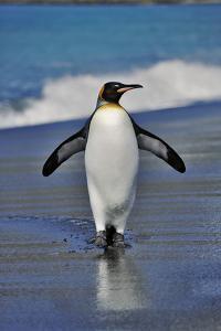 King Penguin on the Beach by Martin Harvey
