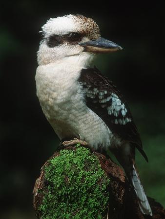 Laughing Kookaburra Perched on Log