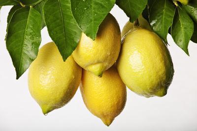 Lemons Hanging from Tree