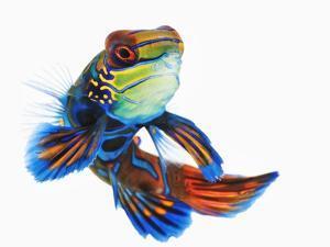 Mandarinfish by Martin Harvey