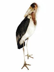 Marabou Stork by Martin Harvey