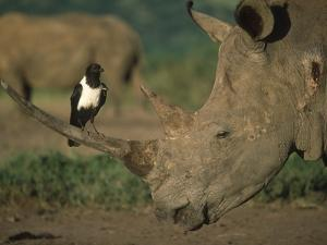 Pied Crow Perched on White Rhino by Martin Harvey