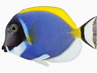 Powder blue tang