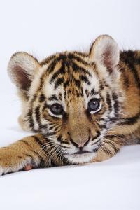 Tiger Cub by Martin Harvey