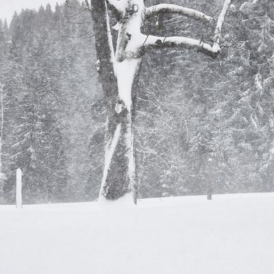 Tree, branches, snow-covered