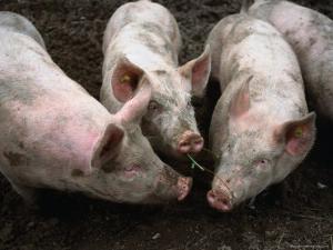 Free Range Pigs Digging in Dirt, Rougemont, Switzerland by Martin Moos
