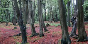 Beech trees, Epping Forest, Essex, England, United Kingdom, Europe by Martin Pittaway
