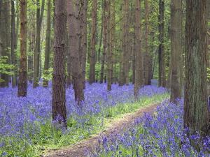 Bluebell Wood, Warwickshire, England, United Kingdom, Europe by Martin Pittaway