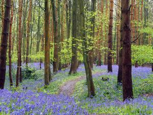 Bluebell woods near Wootton Wawen, Warwickshire, England, United Kingdom, Europe by Martin Pittaway