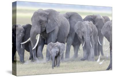 African Bush Elephant Herd, Amboseli National Park, Kenya