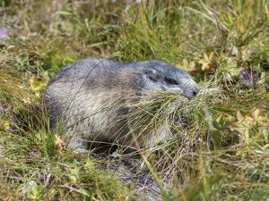 Alpine Marmot Gathering Grass for Hibernation, Hohe Tauern. Austria by Martin Zwick