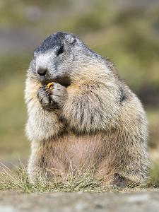 Alpine Marmot in the Hohe Tauern, Mount Grossglockner. Austria by Martin Zwick