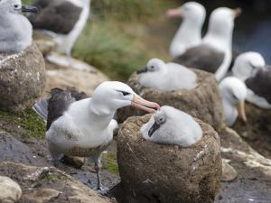Black-browed Albatross adult and chick in its nest. Falkland Islands by Martin Zwick