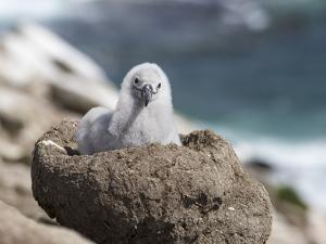 Black-browed Albatross chick in its nest. Falkland Islands by Martin Zwick