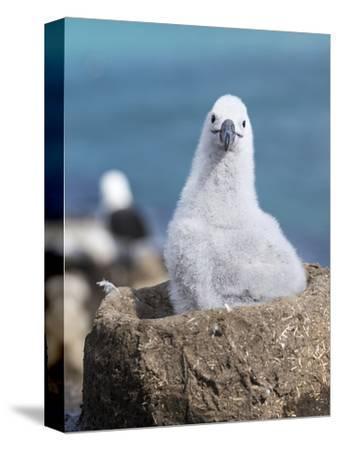 Black-Browed Albatross Chick on Tower Shaped Nest. Falkland Islands